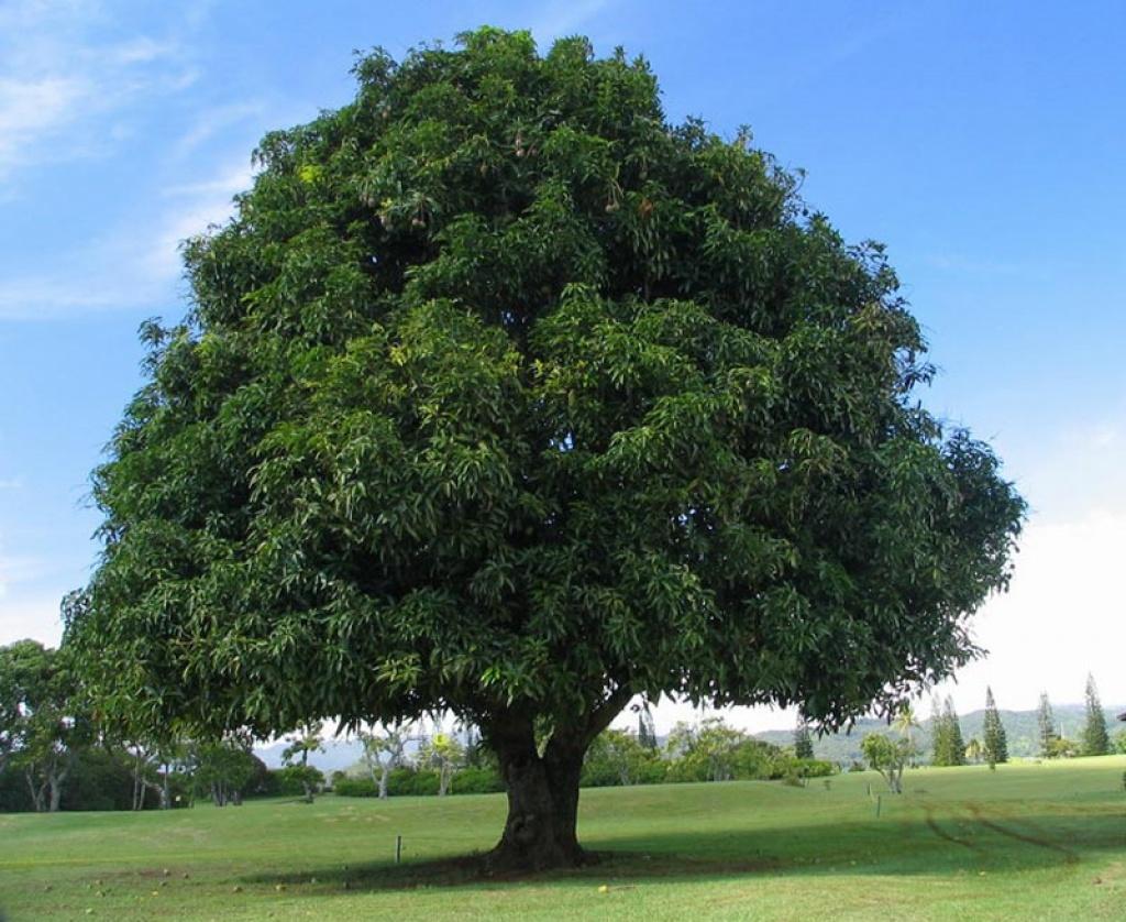 Scala tt il forum sulla scala perfetta tecniche per realizzare alberi - Alberi ornamentali per giardino ...